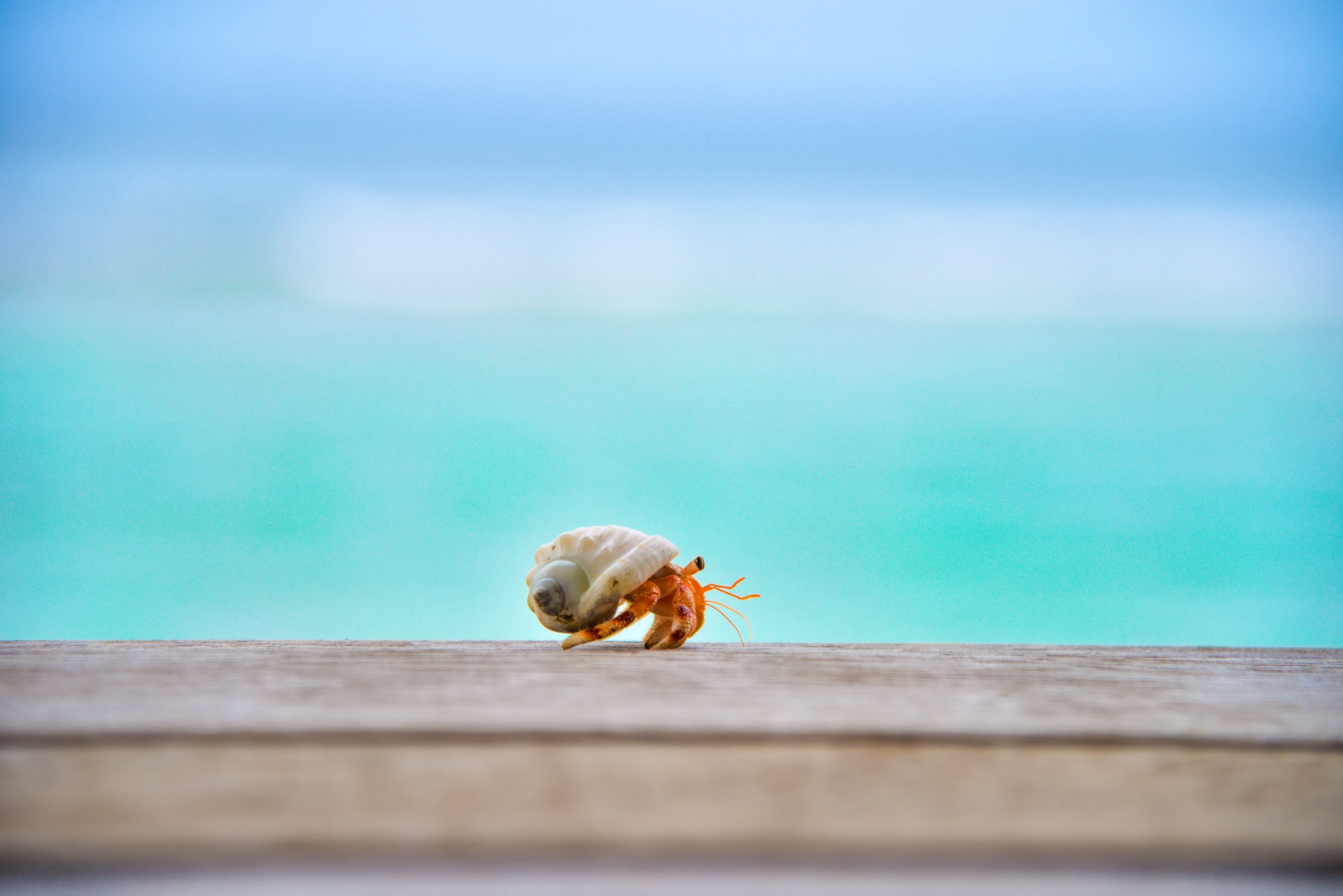hermit crab walking across boardwalk with ocean behind